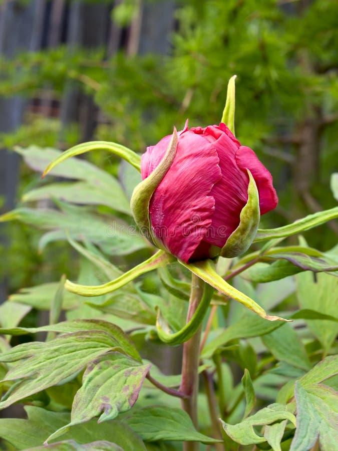 kwiat peonia zdjęcie stock