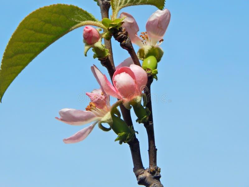Kwiat pigwy drzewo fotografia royalty free