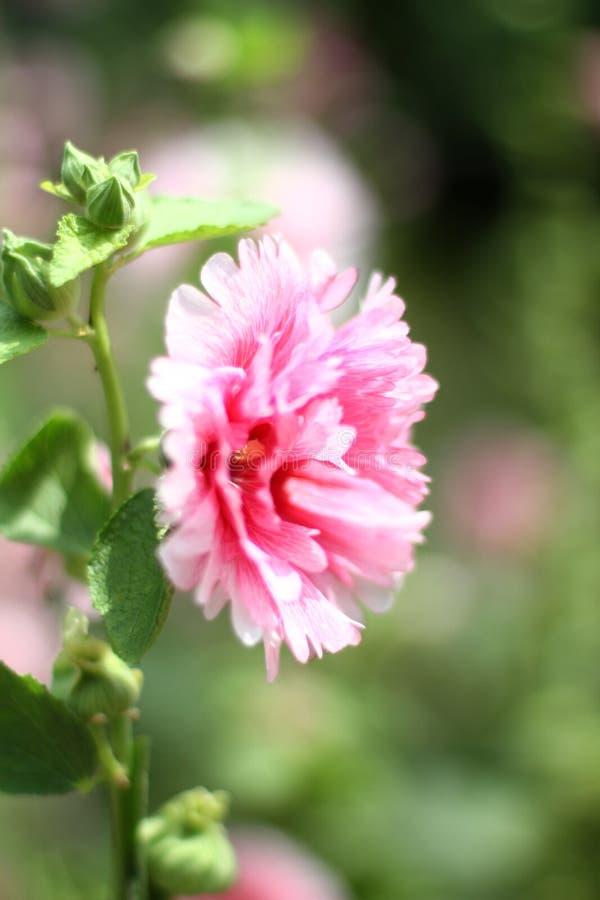 kwiat poślubników mutabilis przy parkowym dnia czasem obrazy royalty free