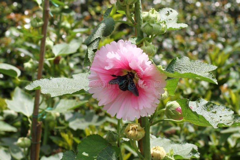 kwiat poślubników mutabilis przy parkowym dnia czasem zdjęcia royalty free