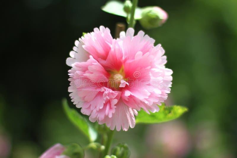 kwiat poślubników mutabilis przy parkowym dnia czasem zdjęcie stock