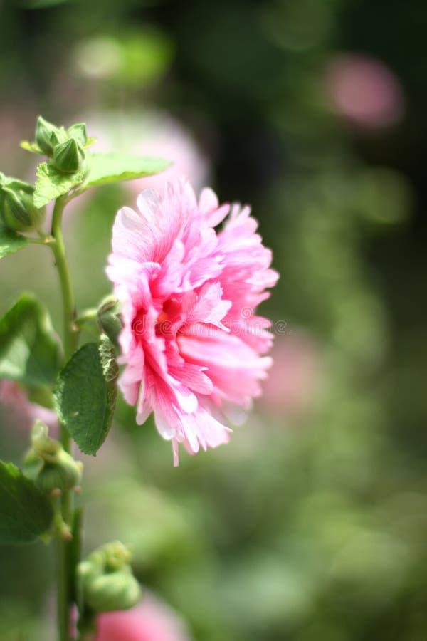 kwiat poślubników mutabilis przy parkowym dnia czasem obrazy stock