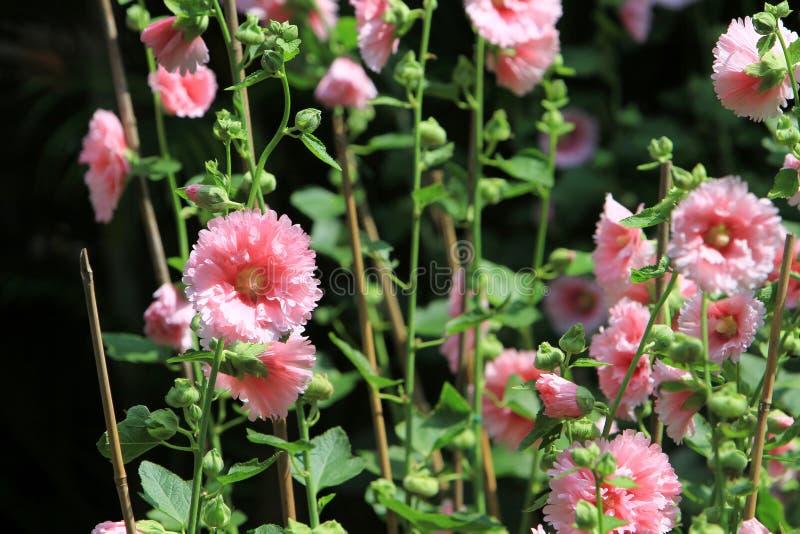 kwiat poślubników mutabilis przy parkowym dnia czasem zdjęcia stock