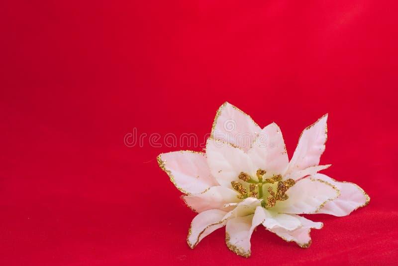 kwiat poinseci odznaczenie white zdjęcia stock