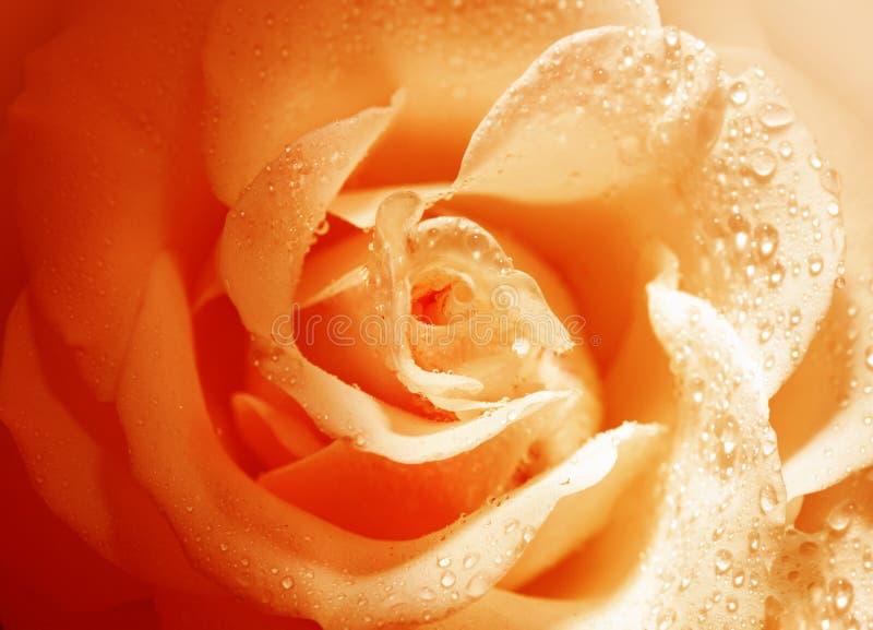 Kwiat pomarańcze róża z ranek rosą obrazy stock