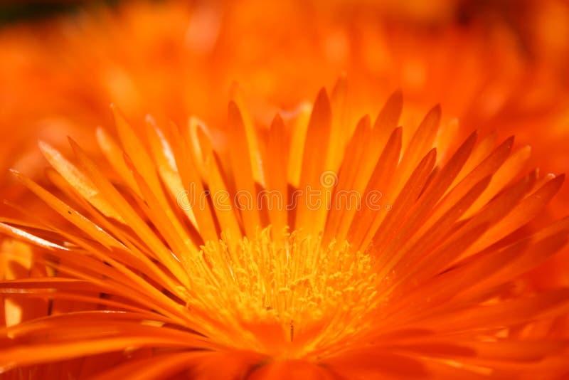 kwiat pomarańczy obraz stock