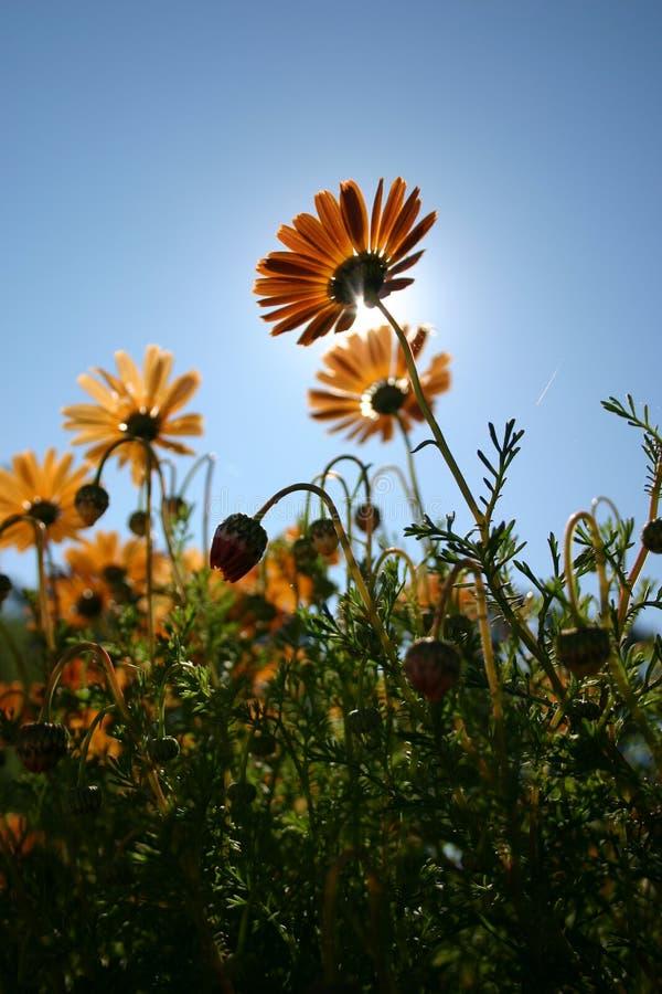 kwiat pomarańczy zdjęcie royalty free