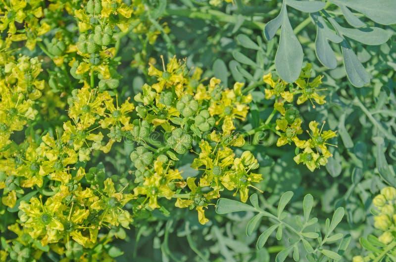 Kwiat pospolita ruciana roślina zdjęcie royalty free