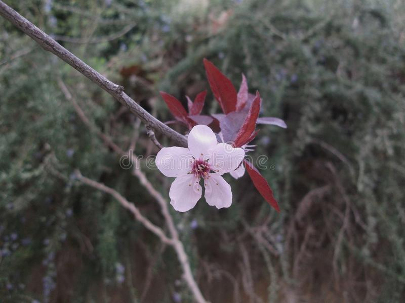 Kwiat pruner zdjęcia stock