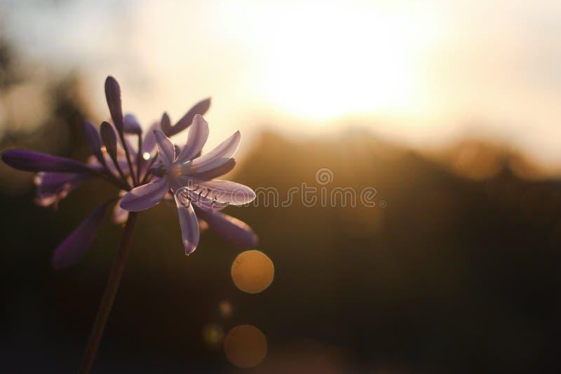 Kwiat przy zmierzchem zdjęcie royalty free