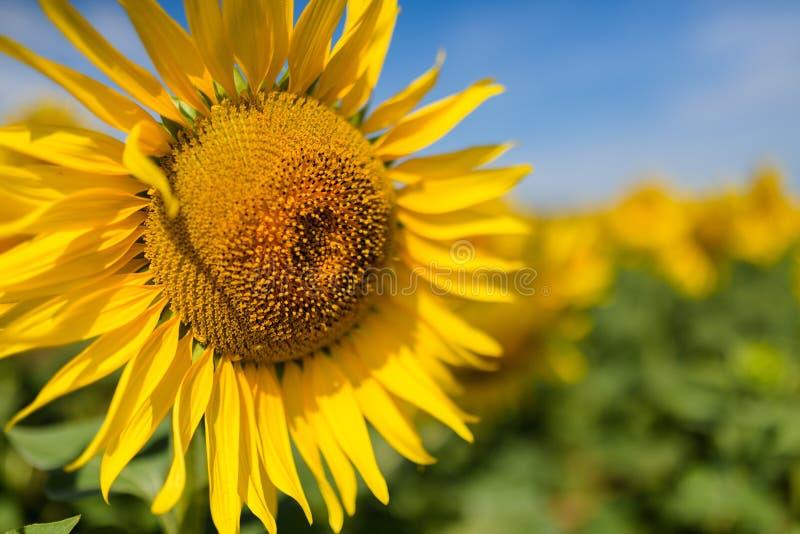 kwiat pszczo?y pola centralnego lata p zdjęcia stock