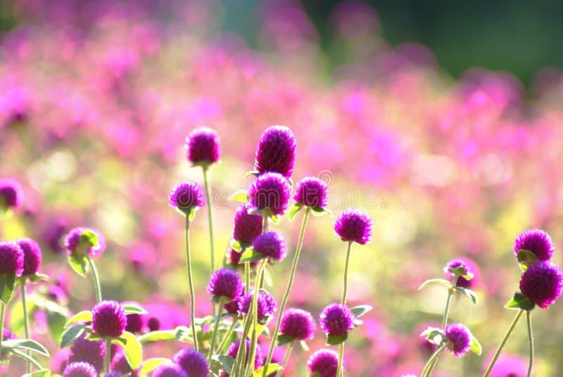 kwiat purpury