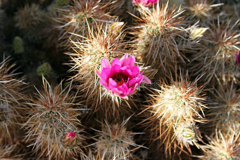 kwiat pustyni zdjęcia stock