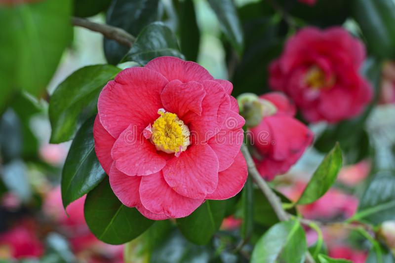 Kwiat różowa kamelia na drzewie zdjęcia royalty free