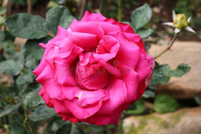 Kwiat różowi różanego na gałąź w ogródzie zdjęcia royalty free
