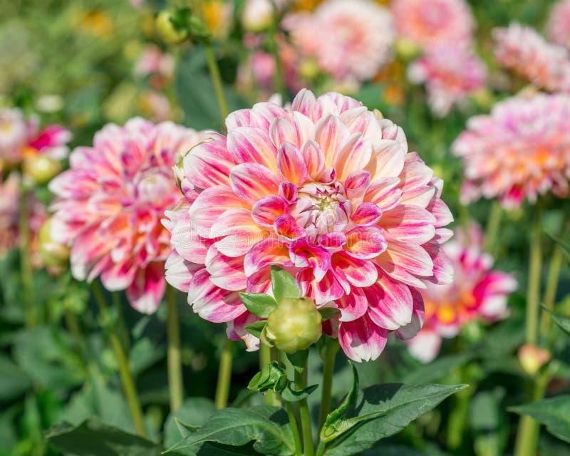 Download Kwiat różowa dalia obraz stock. Obraz złożonej z lato - 53785155