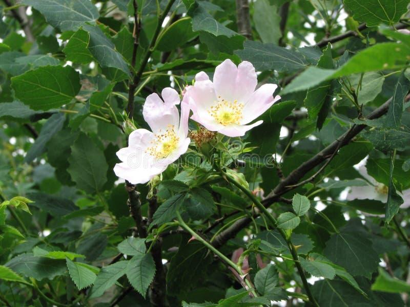 Kwiat, Różana rodzina, roślina, Rosa Canina obraz stock