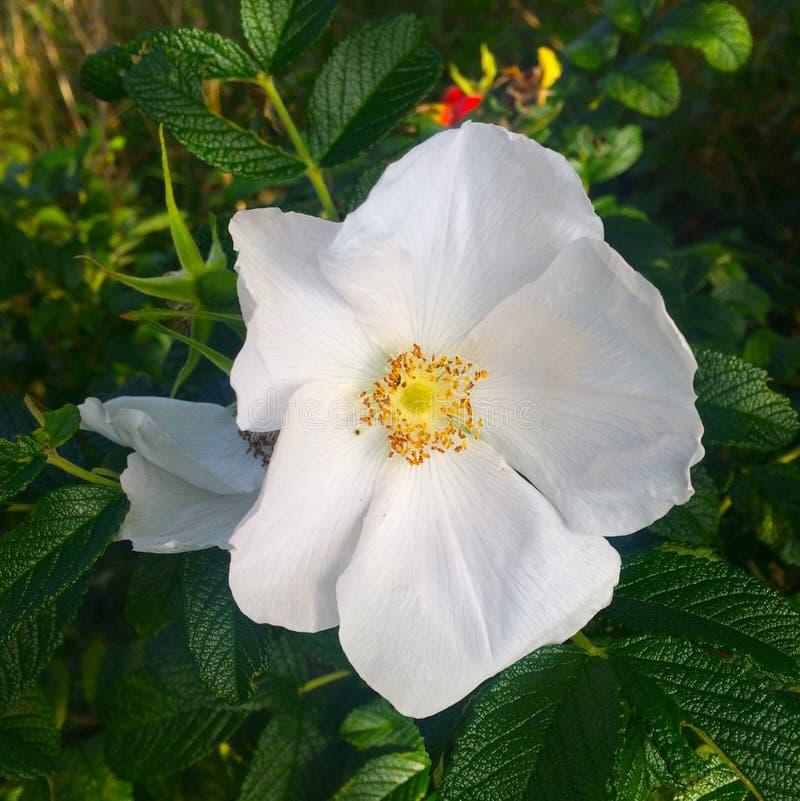 Kwiat, Różana rodzina, Wzrastał, Rosa Canina obraz royalty free