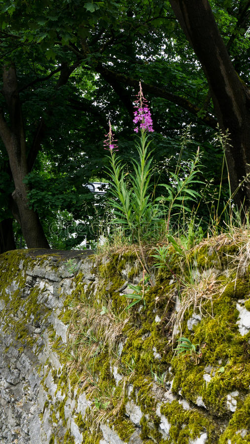 Kwiat r w kamieniach obraz royalty free