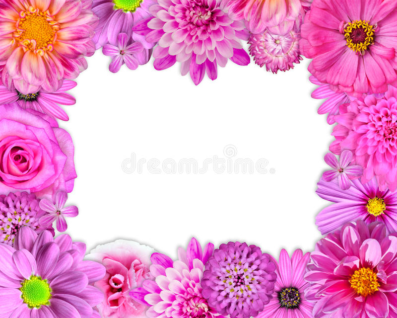 Kwiat ramy menchia, purpury, rewolucjonistka Kwitnie na bielu obraz royalty free