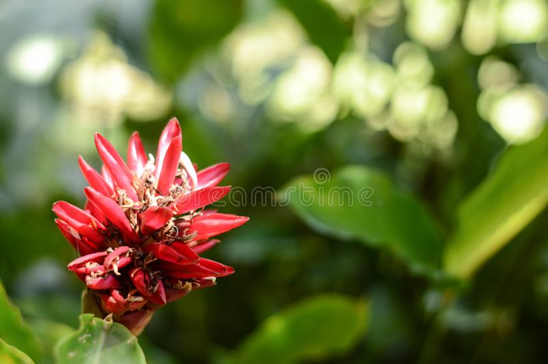 Kwiat rewolucjonistka fotografia royalty free