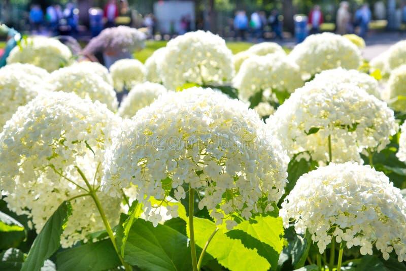 Kwiat rośliien hortensji flowerbed w świetle słonecznym zdjęcie royalty free