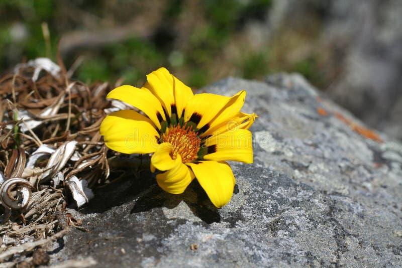 kwiat rock fotografia royalty free