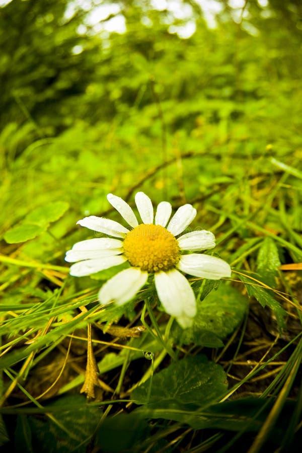 kwiat rumianek obrazy stock