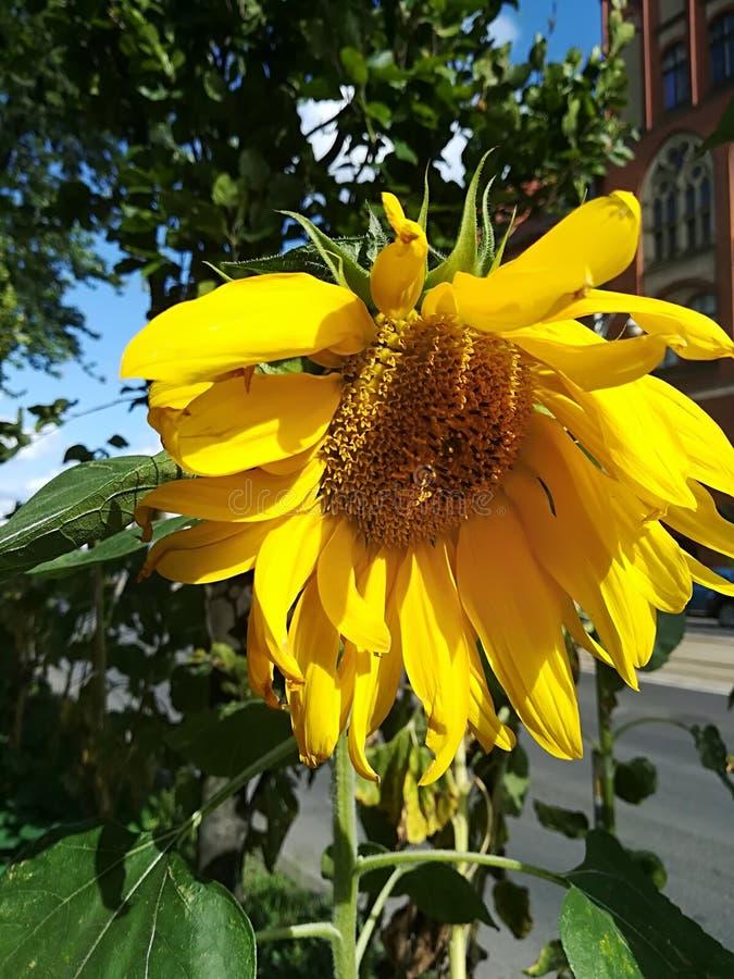 Kwiat słonecznik w słońcu obraz royalty free
