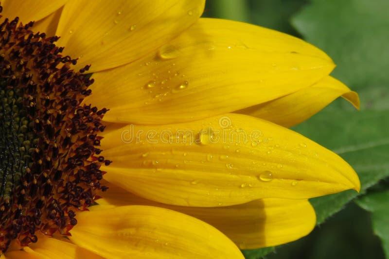 Kwiat, słonecznik, kolor żółty, zakończenie W górę