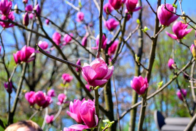 kwiat Sakura Wiosna piękno obraz royalty free