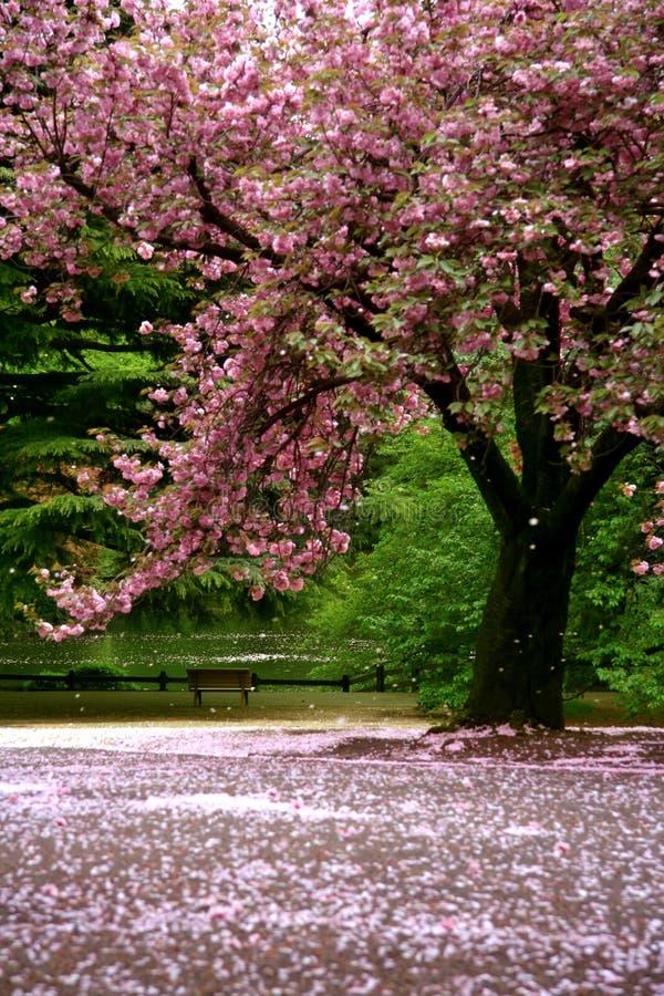 kwiat sceny niesamowite wiśniowe śnieg zdjęcie royalty free