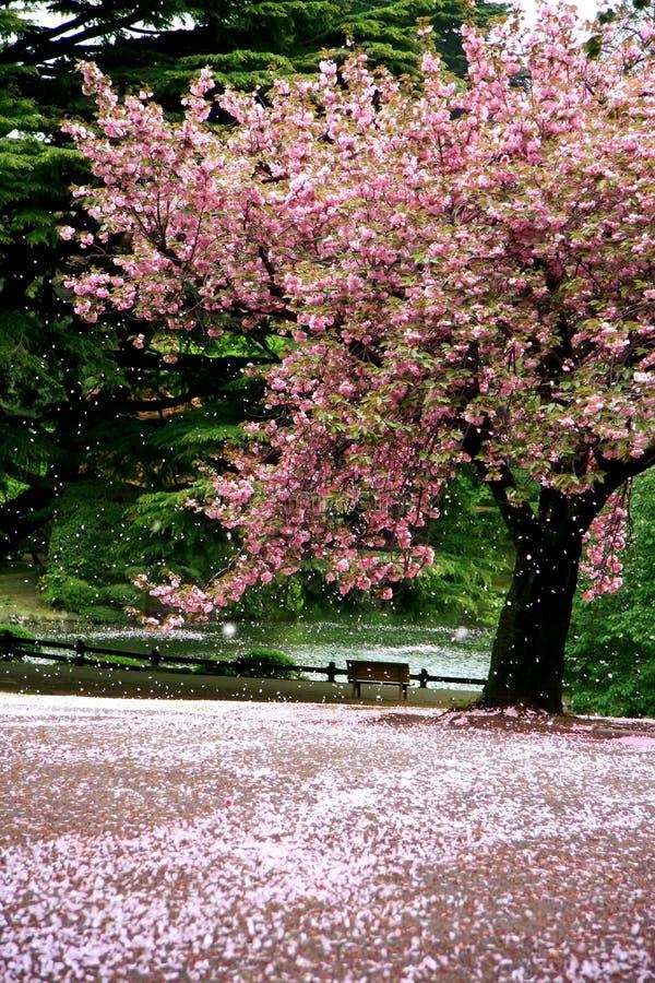 kwiat sceny niesamowite wiśniowe śnieg obraz stock