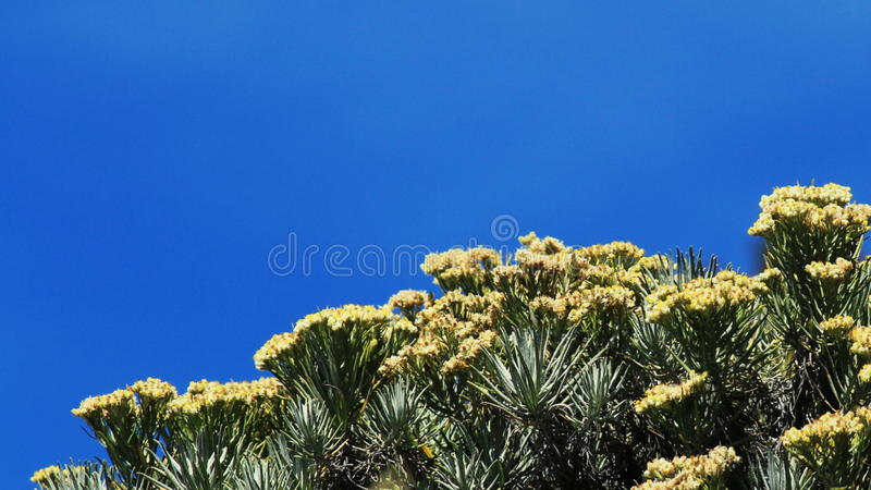 Kwiat szarotka obraz royalty free