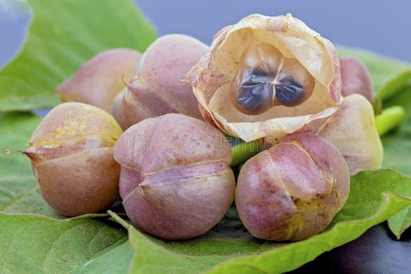 Kwiat Tajlandzki Convolvulaceae - naukowy imię jest Merrernia umbellata Haller f zdjęcia royalty free
