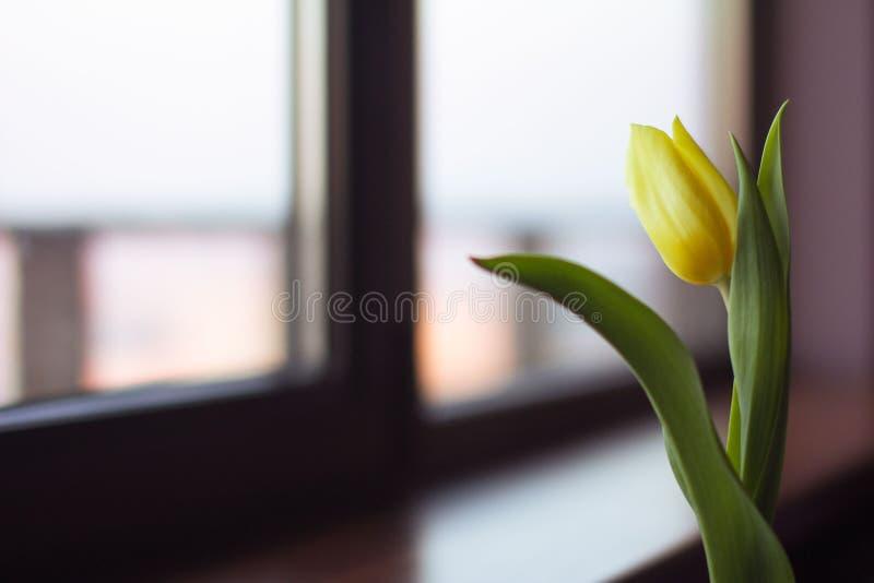 kwiat, tulipan, cięcie, zieleni liście silny złoto, poniekąd obraz stock