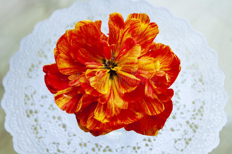 Kwiat Tulipanowej peoni dekoracyjny ogród zdjęcie stock