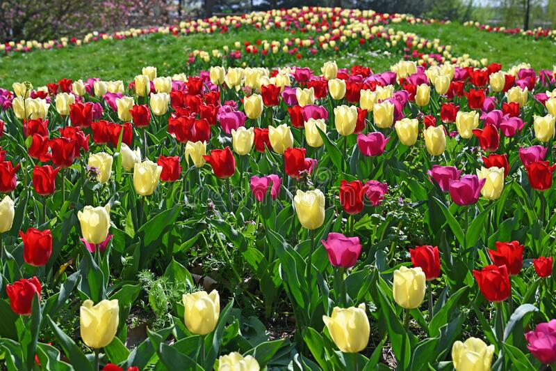 Kwiat Tulips w Kurpark Oberlaa Wiedeń wiosna fotografia royalty free