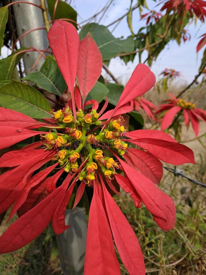 Kwiat W Himachal Pradesh India Una obraz stock