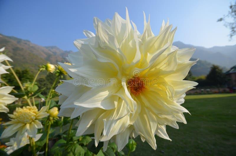 Kwiat w Kaszmir obrazy stock