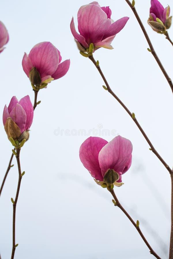 kwiat?w magnolii menchie obrazy royalty free