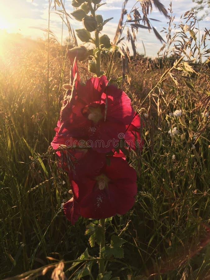 Kwiat w polu obraz royalty free