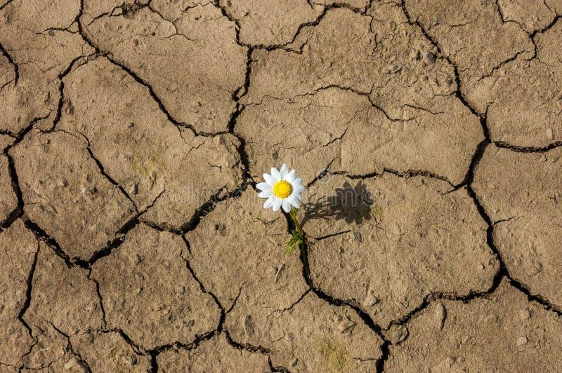 Kwiat w pustyni jest suchego lądu stokrotką obraz royalty free