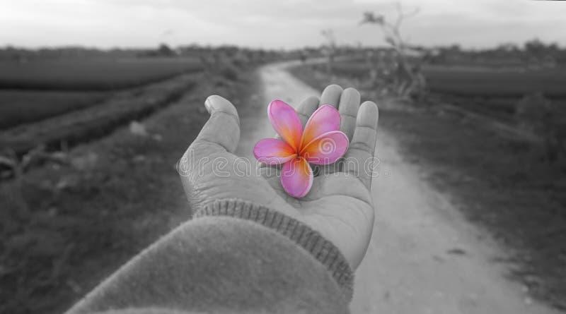 Kwiat w r?ce Bali frangipani kwiatu menchie barwią w jeden otwartej ręce w czarny i biały Wiejski drogowy widoku tło Daje & otrzy obraz stock