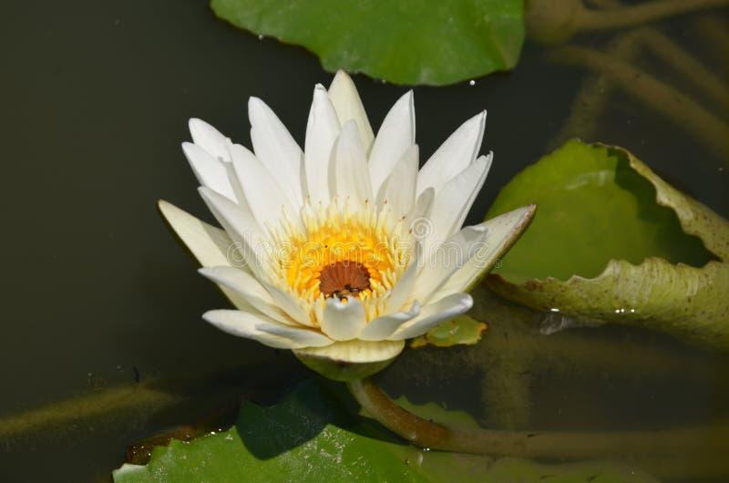 Kwiat w stawie obraz stock