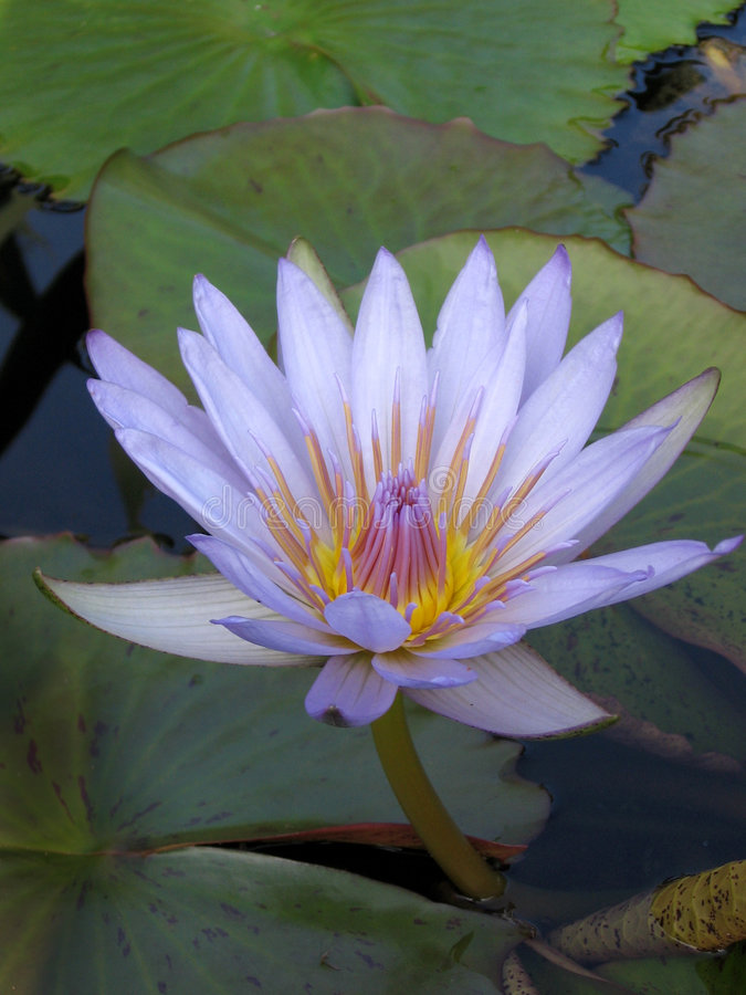 kwiat waterlily obrazy royalty free