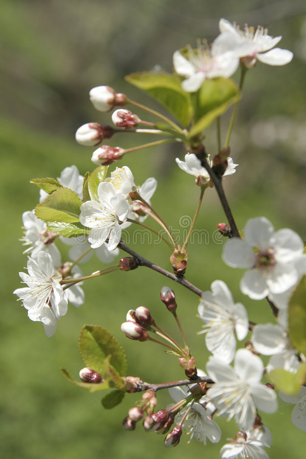 kwiat wiśni obrazy stock