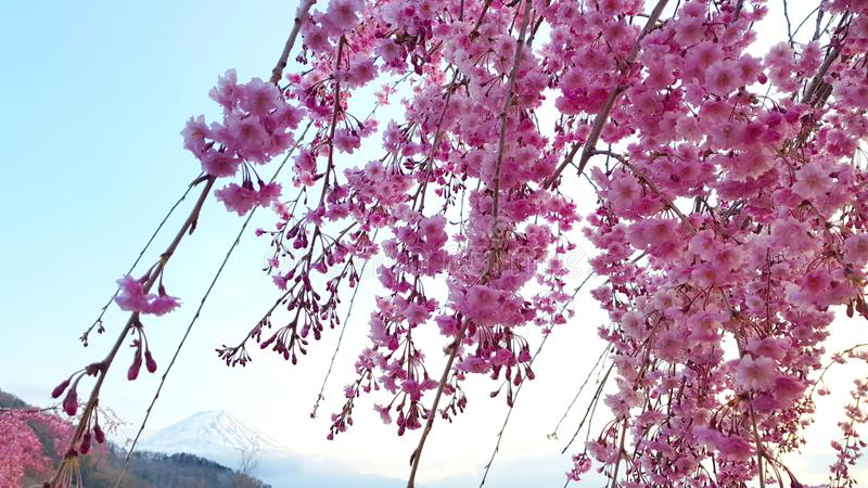 Kwiat wiÅ›niowy i Góra Fuji nad jeziorem Ashi, Hakone zdjęcia royalty free