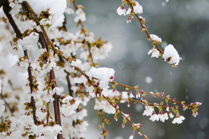 Kwiat wiśniowy pokryty śniegiem w kwietniu fotografia royalty free