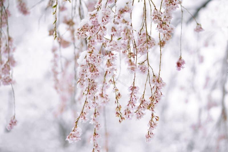 Kwiat wiśniowy pokryty śniegiem w kwietniu zdjęcia royalty free